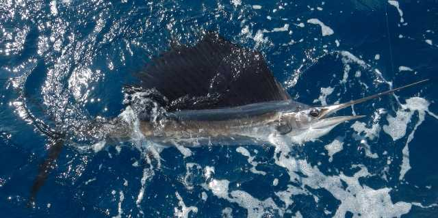 small sailfish on the surface